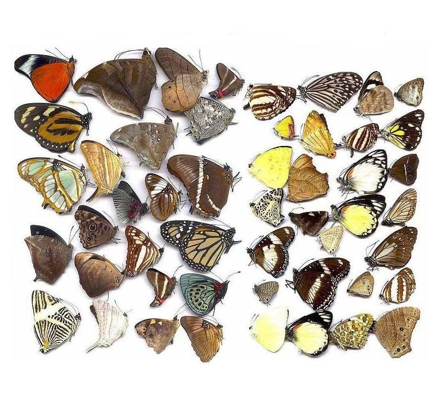 Naturally Beautiful Butterflies Mix - 1 Butterfly - Collectables:animal Collectables:insects & Butterflies