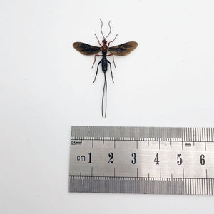 Parasitoid Wasp Braconidae Sp 03 - Collectables:animal Collectables:insects & Butterflies