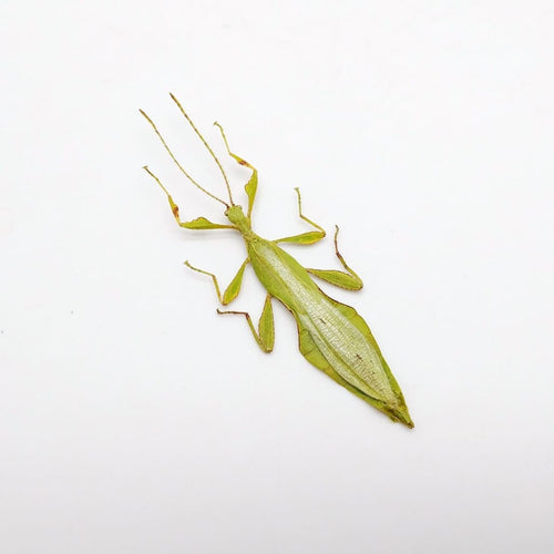 Rare Green Grays Leaf Insect Phyllium Jacobsoni - Collectables:animal Collectables:insects & Butterflies