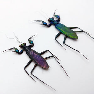 Rare Metallic Praying Mantis (Metallyticus Splendidus) (Pair) - Collectables:animal Collectables:insects & Butterflies