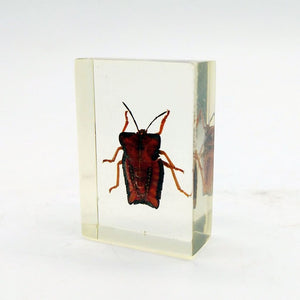 Real Insects Taxidermy Bugs Paperweight In Acrylic Block - Lychee Giant Stink Bug - Collectables:animal Collectables:insects & Butterflies