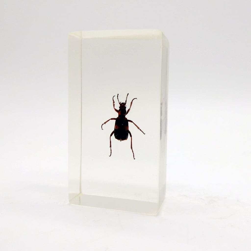 Real Insects Taxidermy Bugs Paperweight In Acrylic Block - Paleartic Beetle - Collectables:animal Collectables:insects & Butterflies