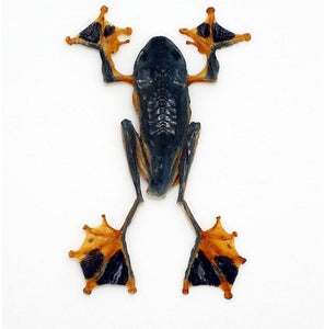 Rhacophorus Reinwardtii Flying Frog - Collectables:animal Collectables:taxidermy