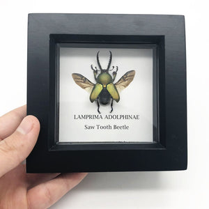 Saw Tooth Beetle In Box Frame (Lamprima Adolphinae) Entomology Insect Frame - Collectables:animal Collectables:insects & Butterflies