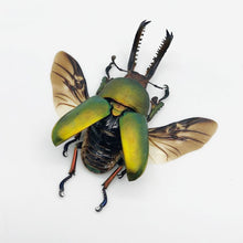 Saw Tooth Green Stag Beetle (Lamprima Adolphinae) (Spread) - Collectables:animal Collectables:insects & Butterflies