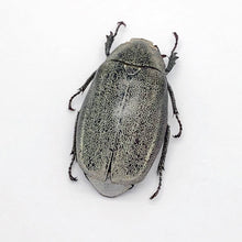 Scarab Stag Beetle (Melolonthinae Sp 02) - Collectables:animal Collectables:insects & Butterflies