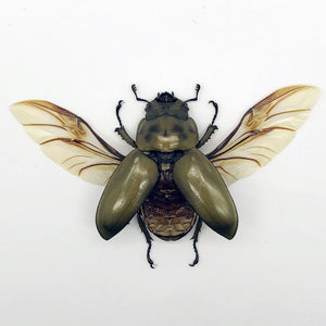 (Spread) Bronze Golden Beetle Allotopus Rosenbergi Insect - Collectables:animal Collectables:insects & Butterflies