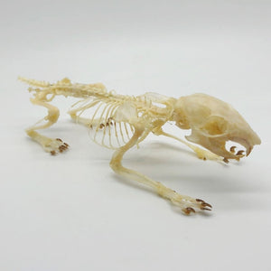 Squirrel Callosciurus Notatus Full Skeleton - Collectables:animal Collectables:taxidermy