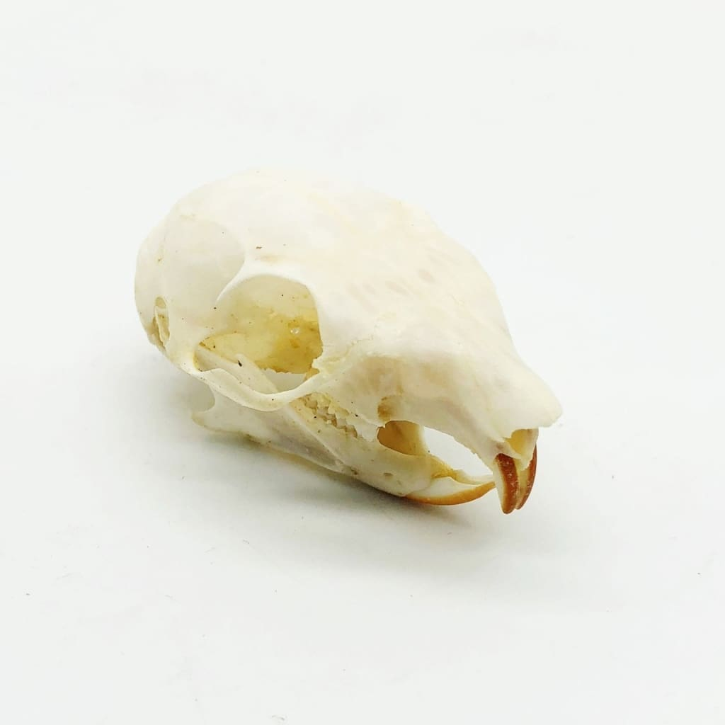 Squirrel Skull Callosciurus Notatus - Collectables:animal Collectables:taxidermy