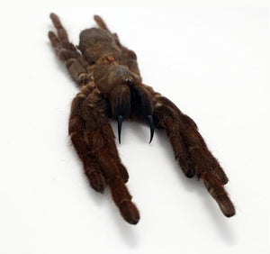 Tarantula Spider Eurypelma Spinicrus - Collectables:animal Collectables:insects & Butterflies