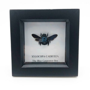 The Blue Carpenter Bee In Box Frame (Xylocopa Caerulea) Entomology Insect Frame - Collectables:animal Collectables:insects & Butterflies