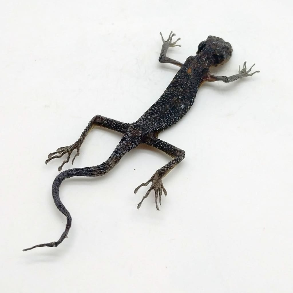 Tree Lizard From Indonesia - Collectables:animal Collectables:taxidermy