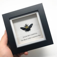 Black Gold Carpenter Bee in Shadow Box Frame (Xylocopa confusa)