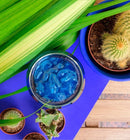 Cactus Blue French Summer Icedtea Ijsthee