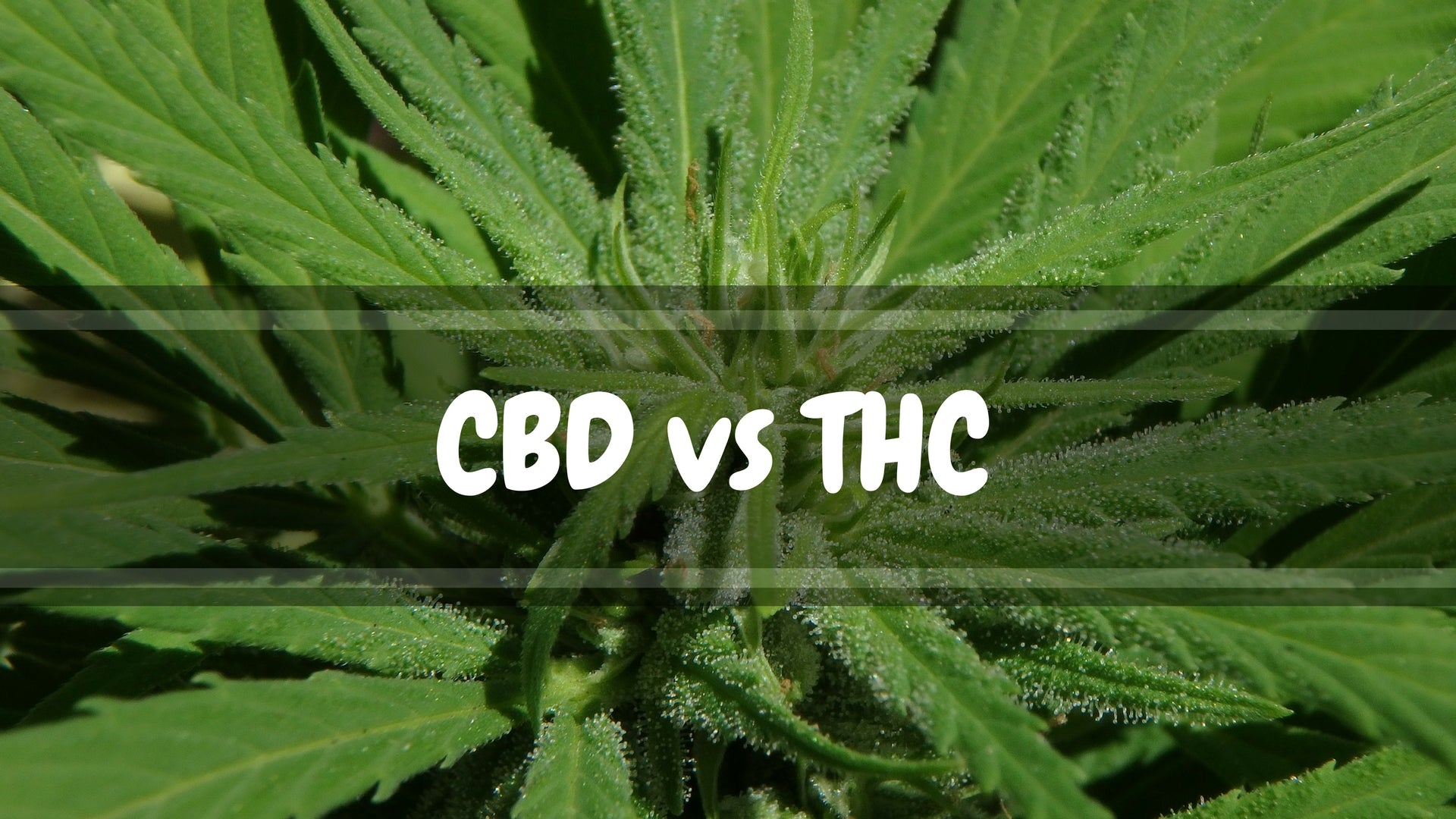 What's the Difference Between THC and CBD?