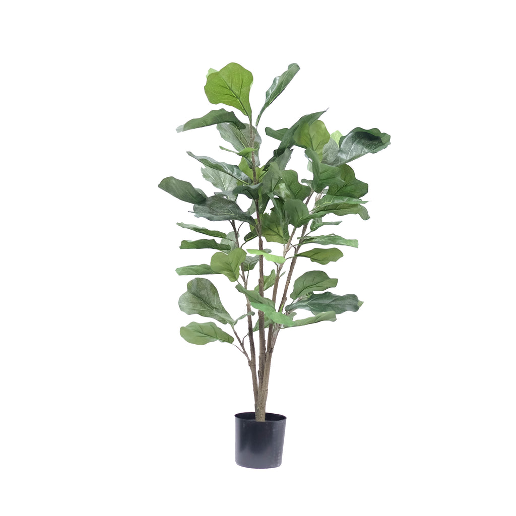 Fiddle Leaf Fig Bush 3ft