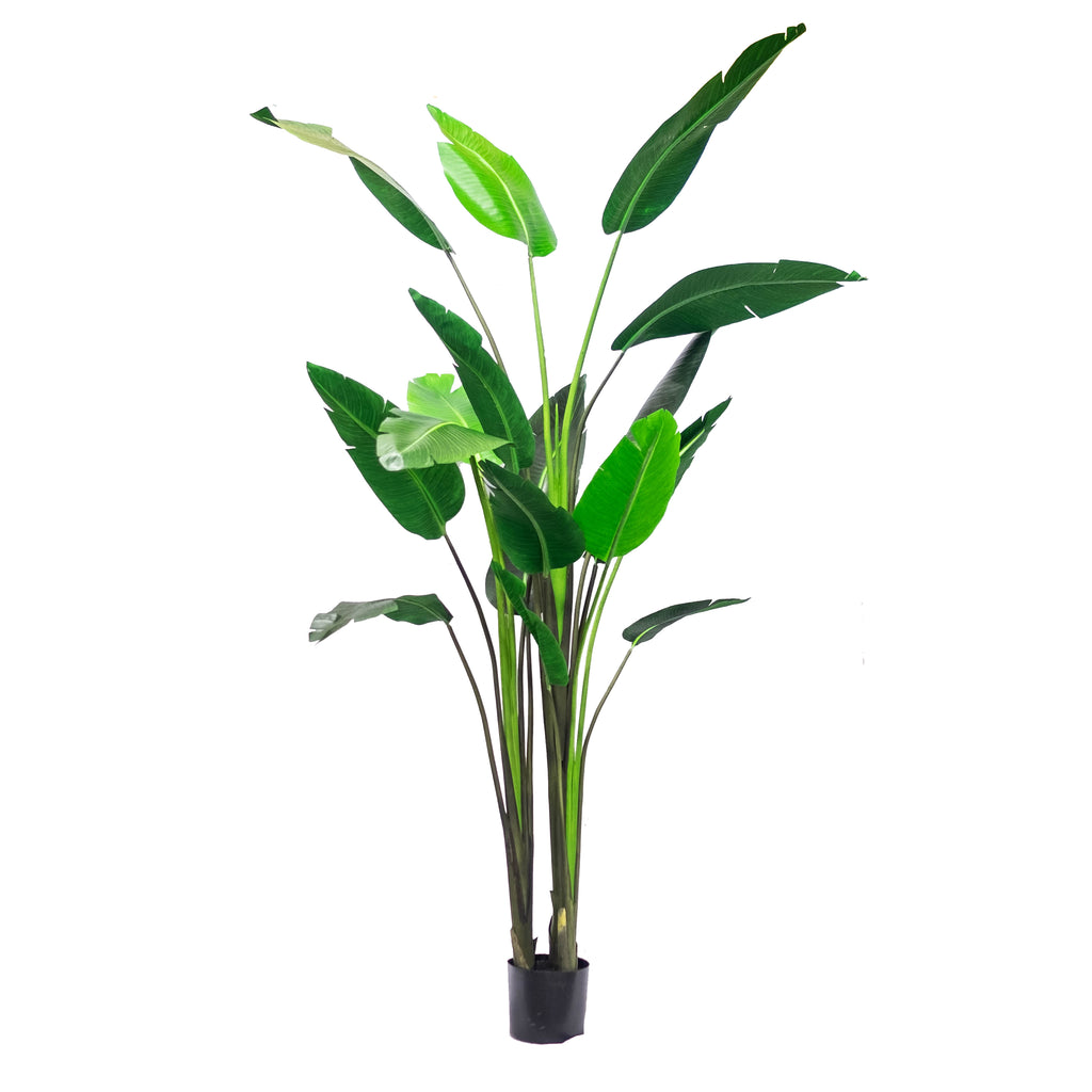 Bird of Paradise 8ft (Pick up)