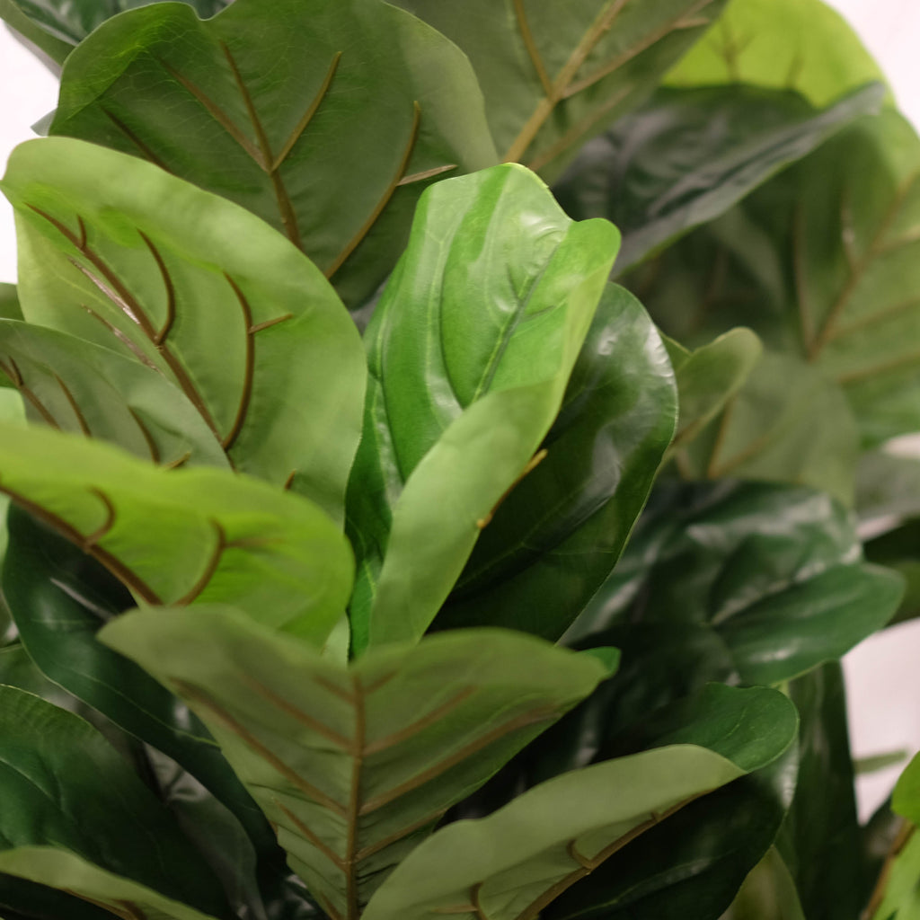 Fiddle Leaf Fig 72""