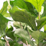 Fiddle Leaf Fig 62""