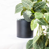 Trailing Fittonia