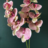 "Phalaenopsis Orchid 36"" (Pack of 3)"