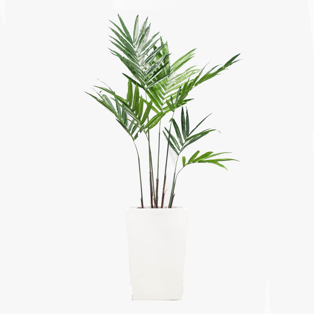 "Kentia Palm 99.6"" (Pick up)"