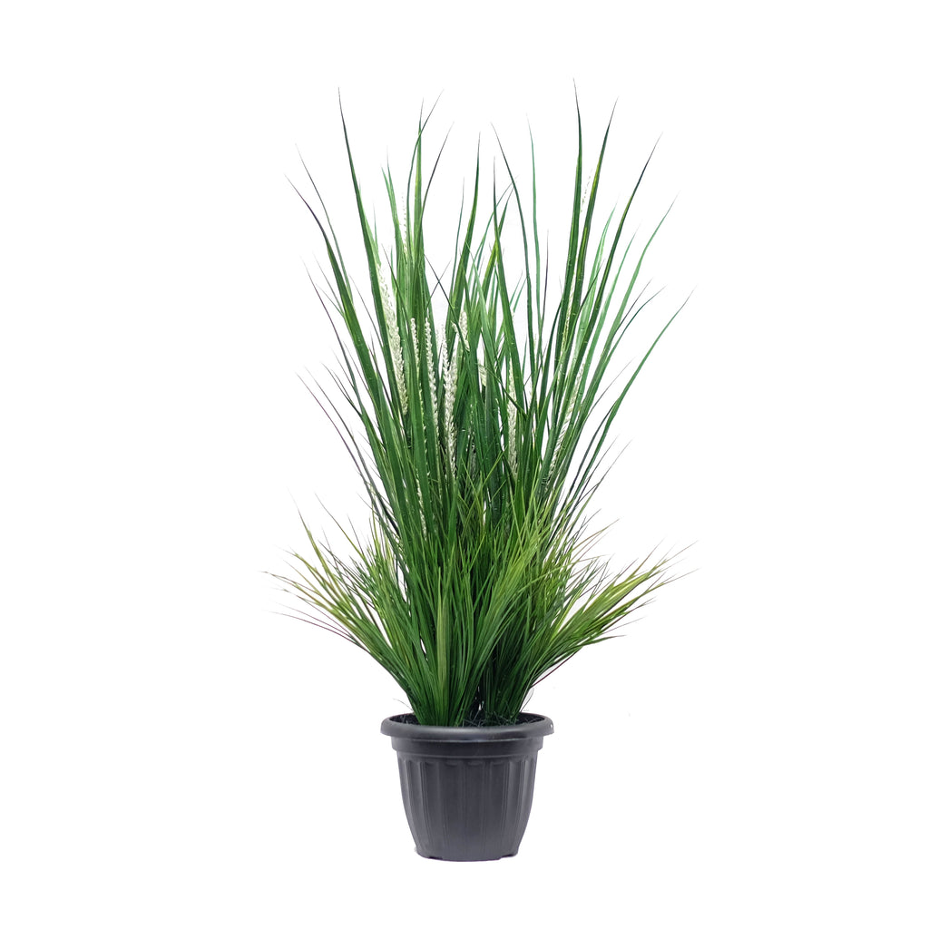 Lucky Grass Potted