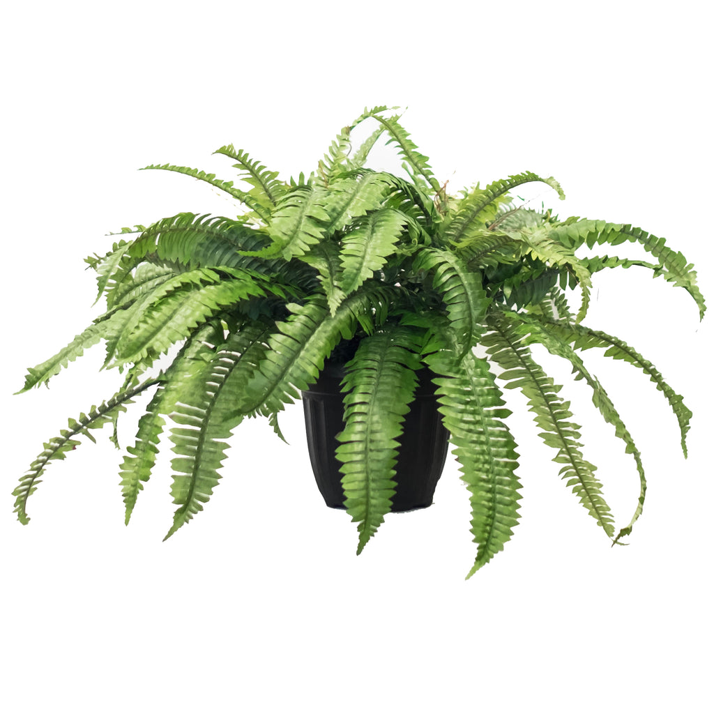 Potted Garden Fern Double