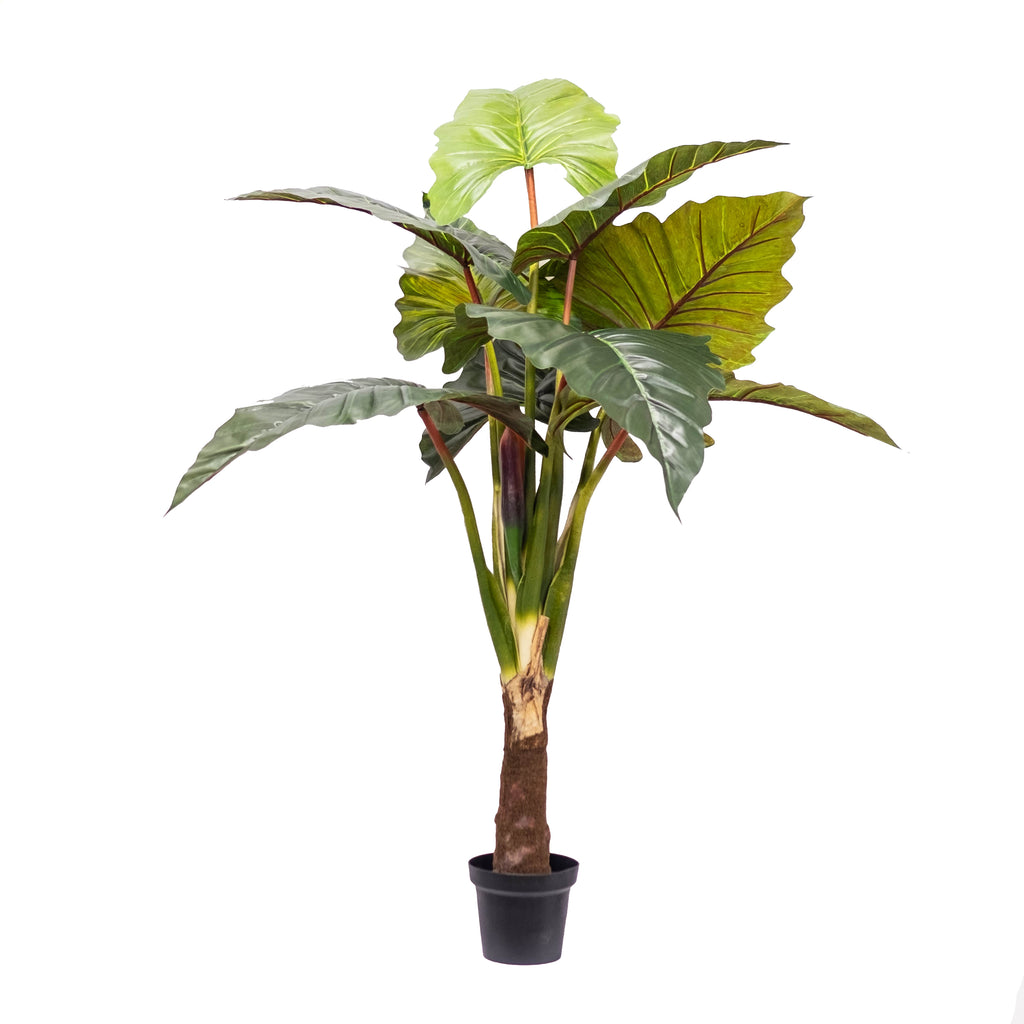 "Philodendron Red Prince 65"" (Pick up)"