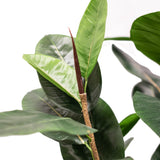 Rubber Plant 5ft
