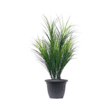 Wheat Grass Potted
