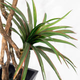 Yucca Tree 6ft (Pick up)