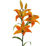 "Orange Tiger Lily 30"" with 5 Blooms (Pack of 3)"