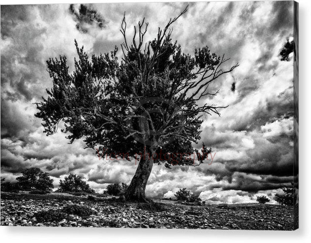 Lonely Tree Dying In Black And White - Acrylic Print