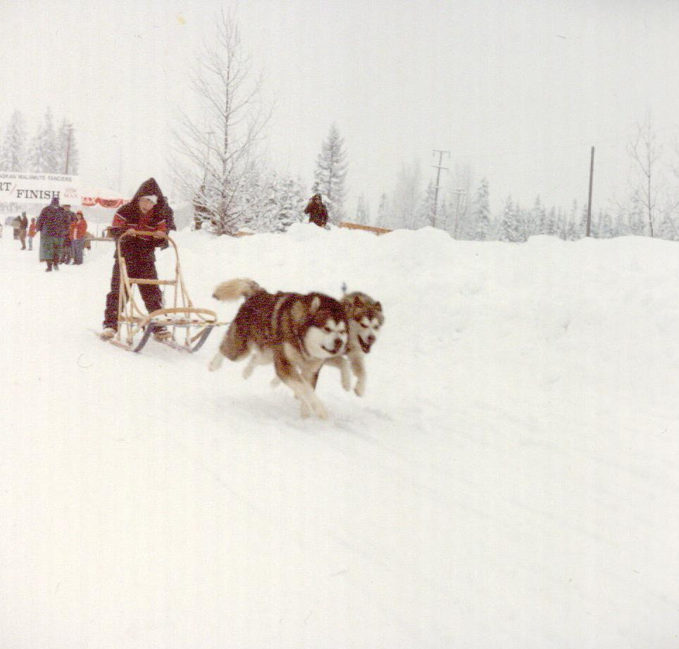Older son Random in a Junior Race at the Snow King Alaskan Malamute Fanciers annual Freight Race in Snoqualmie Pass. He is running Tuggers and Susie. This is about 1980.