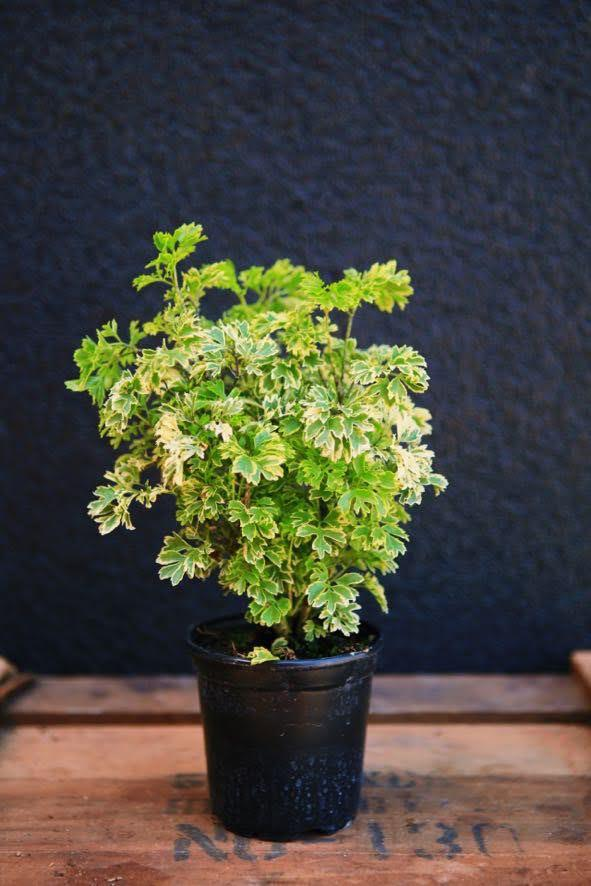 Aralia Golden Ming