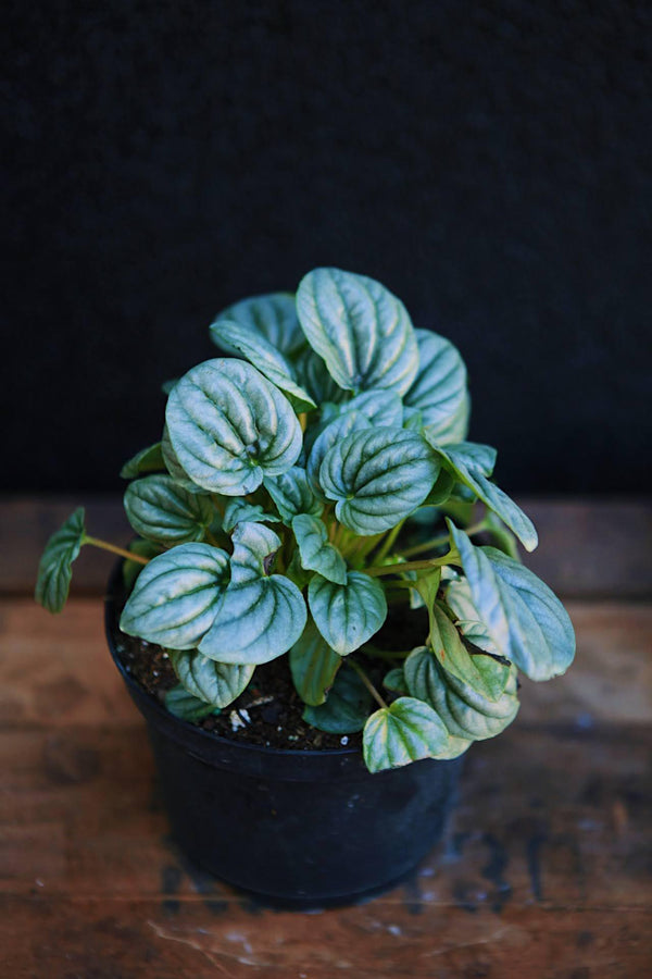 Peperomia Frost
