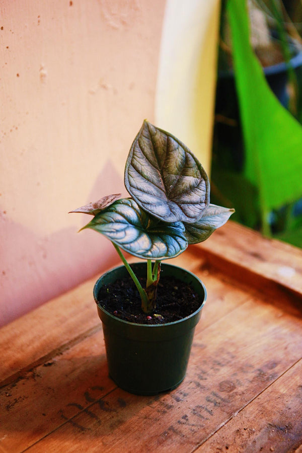 "Alocasia ""Green Dragon"""
