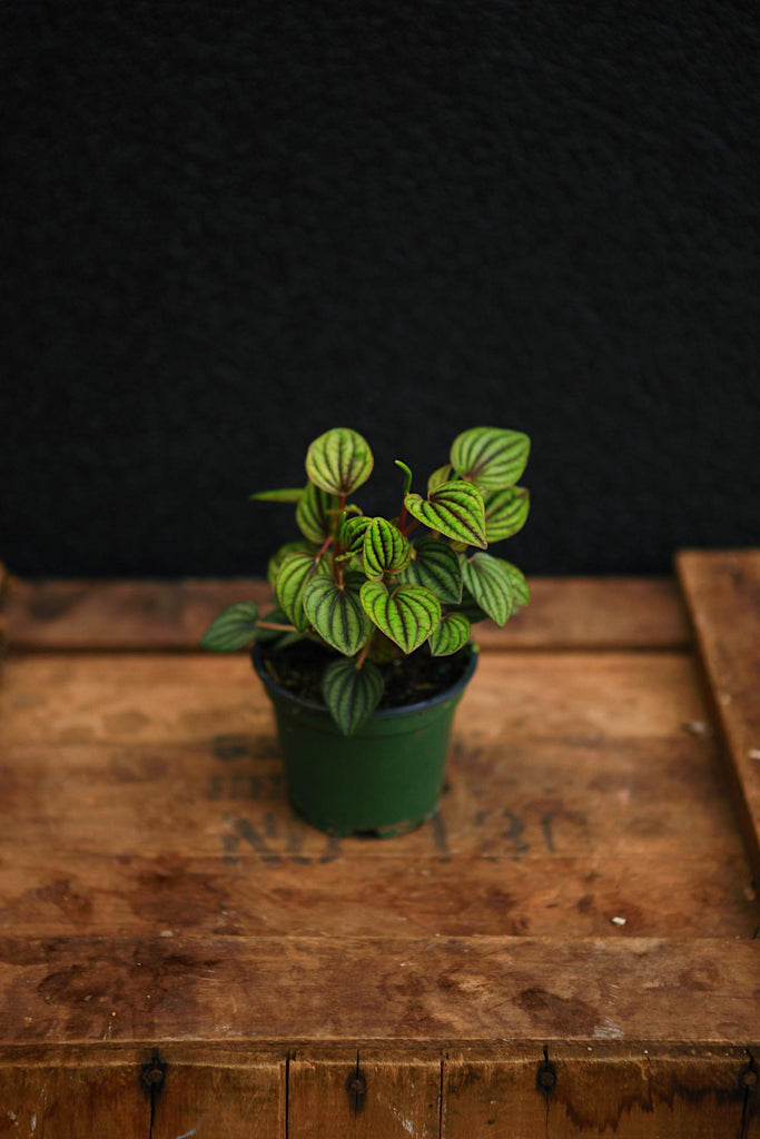 "Peperomia ""Red Ripple"""
