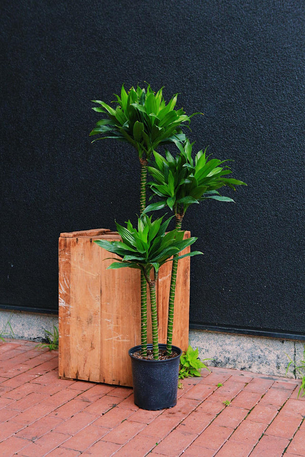 Dracaena Dragon Green Jewel