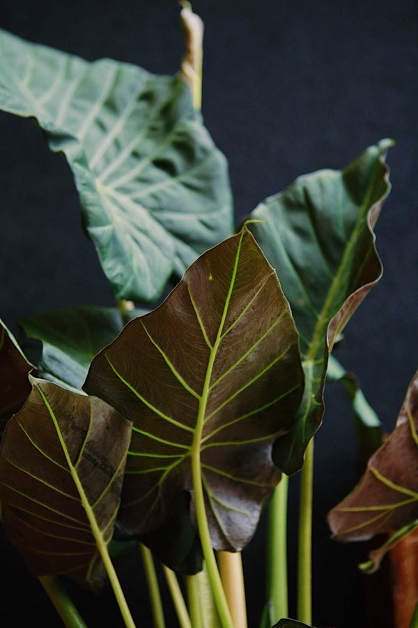 "Alocasia ""Regal Shields"""