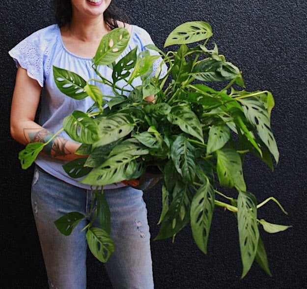Philodendron Swiss Cheese Plant 8""