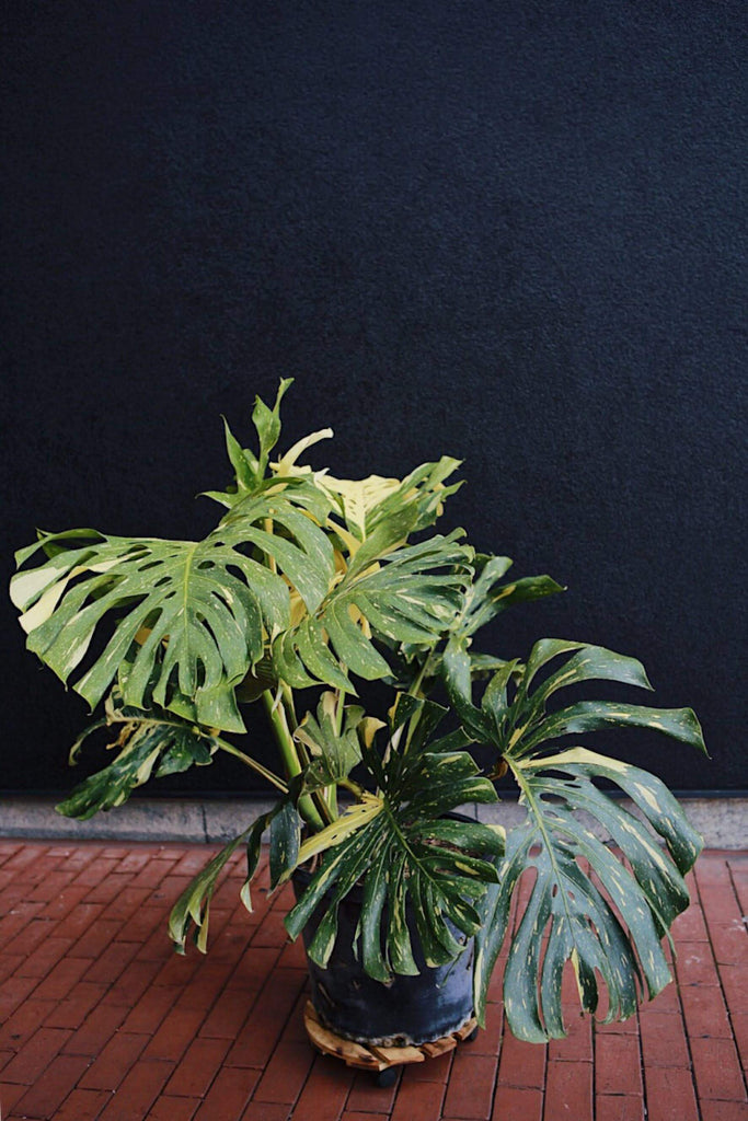 Variegated Philodendron Monstera 17""