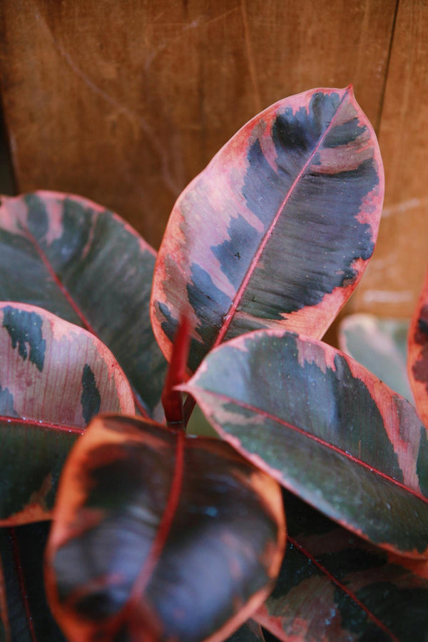 Ruby Red Rubber Plant