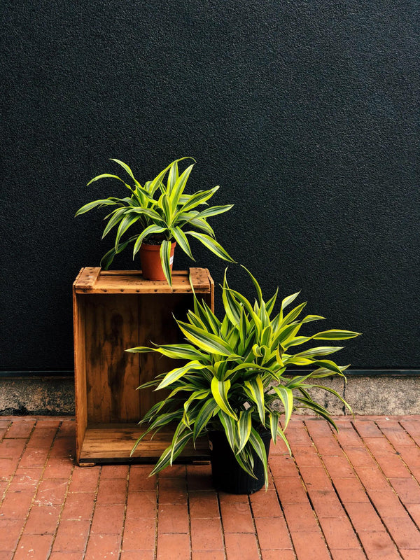 Dracaena Warneckii Lemon Lime