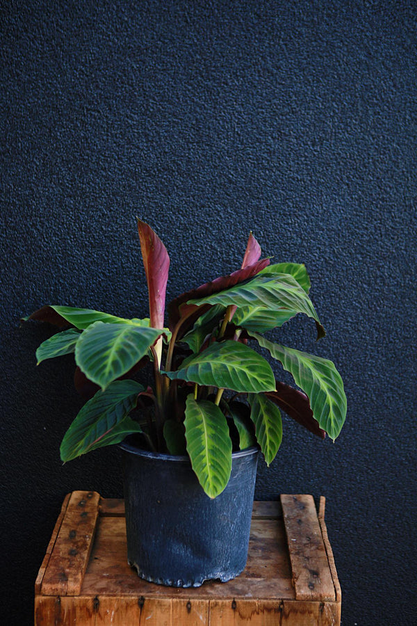 Calathea Jungle Velvet