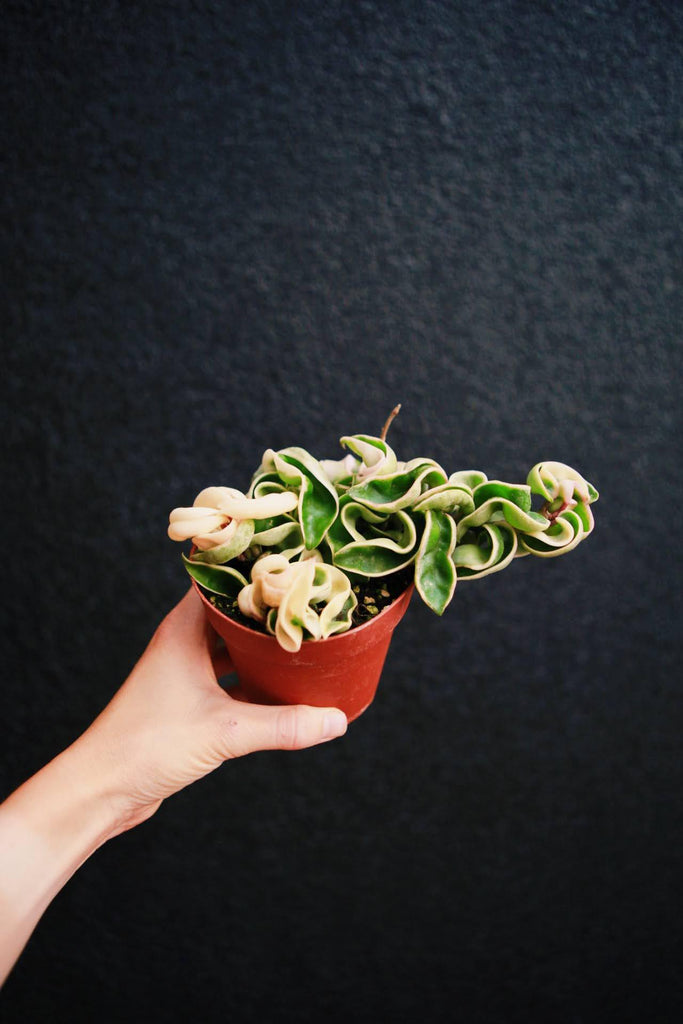 Variegated Hoya Rope