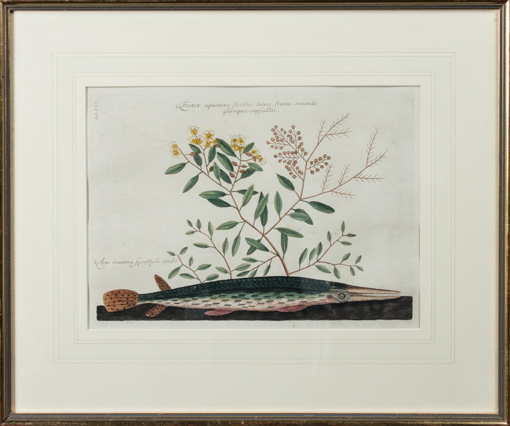 A BOTANICAL PRINT BY MARK CATESBY