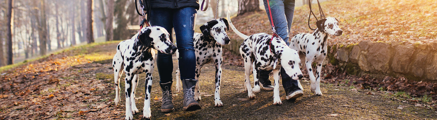 Two people walking with four Dalmatians