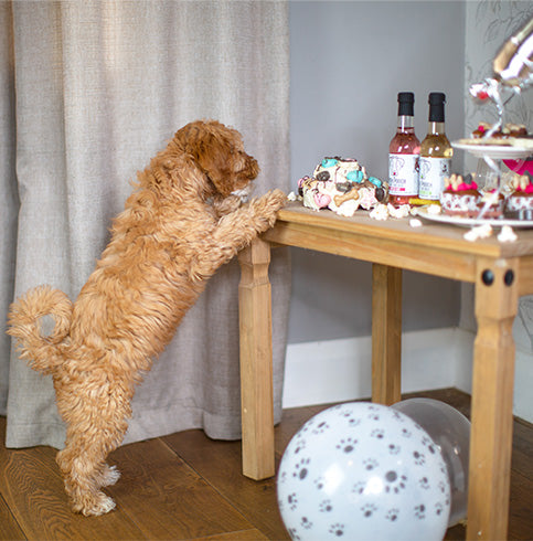 Cockapoo trying to pinch some food from a party